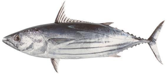 Frozen Skipjack Tuna Fish