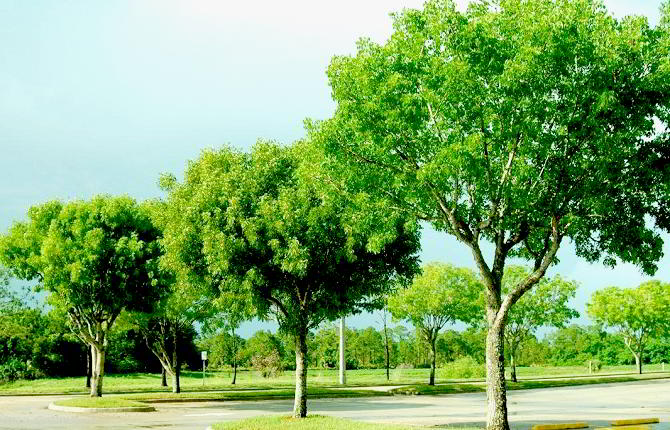 Mahogany Wood Plant