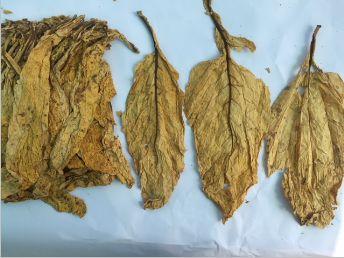 Flue Cured Virginia Tobacco 02