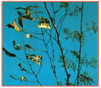 Acacia Catechu Plant