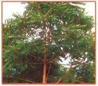 Ailanthus Excelsa Plant