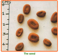 Albizia Lebbeck Seed 03