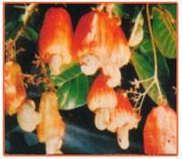 Anacardium Occidentale Plant