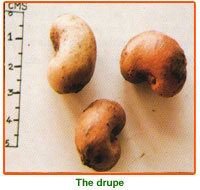 Anacardium Occidentale Seed 02