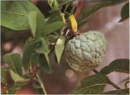 Annona Squamosa Seeds