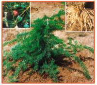 Asparagus Racemosus Plant