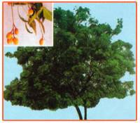 Azadirachta Indica Plant