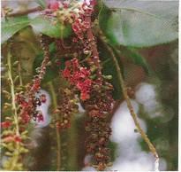Barringtonia Acutangula Seeds
