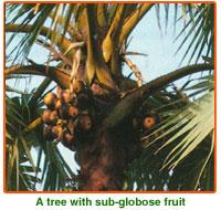 Borassus Flabellifer Seeds
