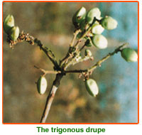 Boswellia Serrata Seeds
