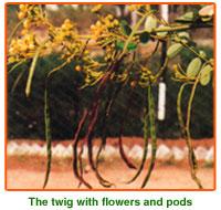 Cassia Siamea Seed 01