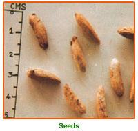 Delonix Regia Seed 02