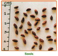 Emblica Officinalis Seeds