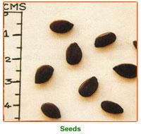 Leucaena Leucocephala Seed 02
