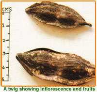 Peltophorum Pterocarpum Seed 02