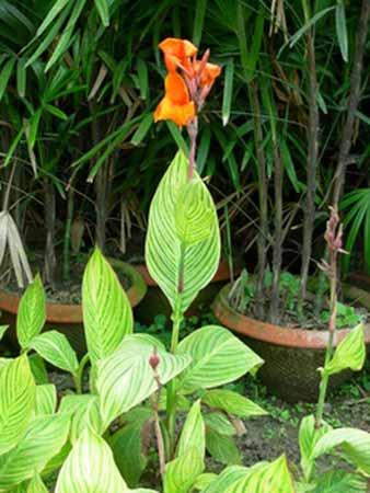 Canna Plants
