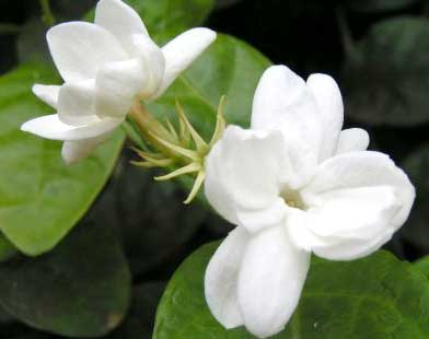 Jasmine(Sambac) Absolute Essential Oils