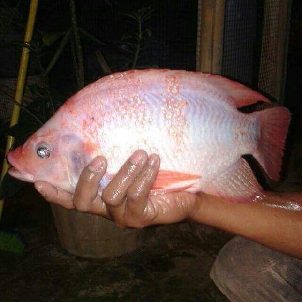 Red Tilapia  Fish Seeds