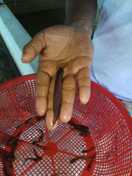 Desi shigi  Fish Seeds