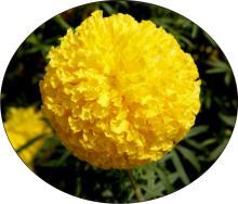 Yellow Marigold Seeds