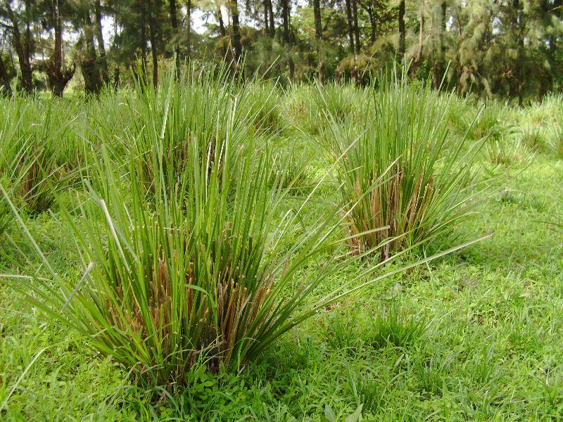 Cuscus Grass