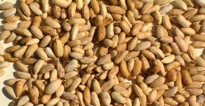 Margosa Seeds