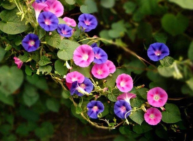 Pharbitis Herb