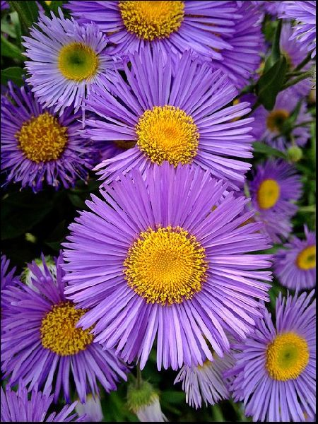 Purple Fleabane