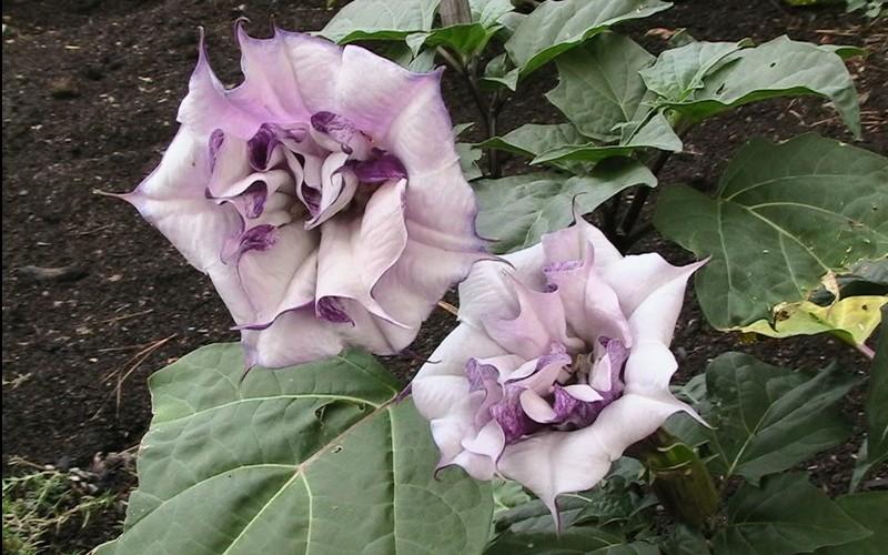 Thorn Apple Plant