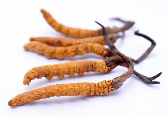 Cordycep Sinensis
