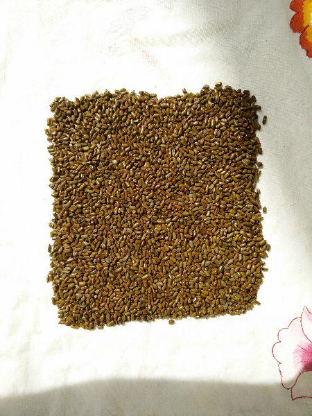 Cassia Tora Seeds 02