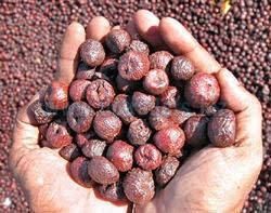 Areca Nuts 03