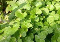 Bacopa Monnieri Plants