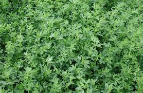 Medicinal Herbal Farming Consultant