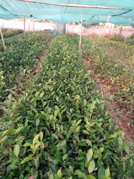 Camellia Theifera {Cha-Pata Tiniali 17 S.3} Plant