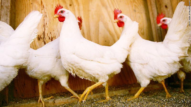 Live Chicken 01