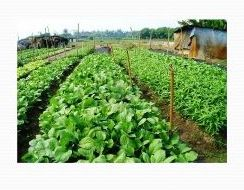 Organic Vegetable Farming 03