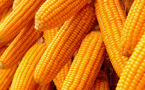 Yellow Maize 01