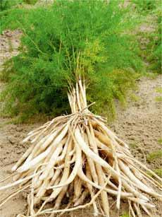 Asparagus Racemosus 02