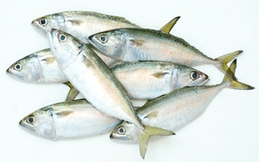 Indian Mackerel Fish