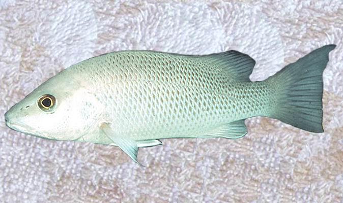 White Snapper Fish