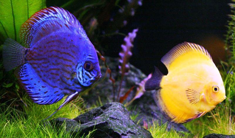 Live Ornamental Fish