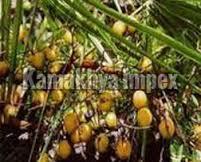 Saw Palmetto Nuts Oil