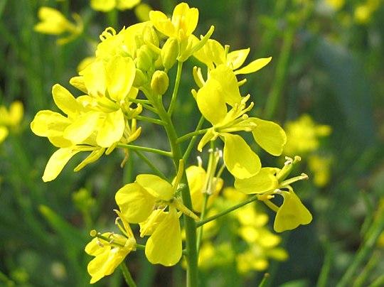 Mustard Seeds 01