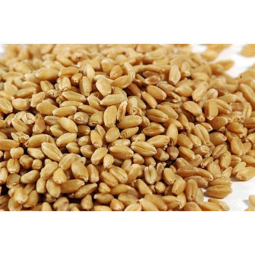 Sharbati Wheat Seeds