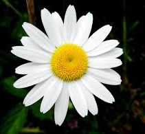 Fresh White Daisy Flowers