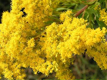 Fresh Goldenrod Flowers