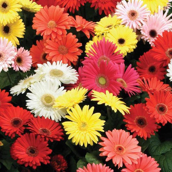 Fresh Hybrid Gerbera Flowers