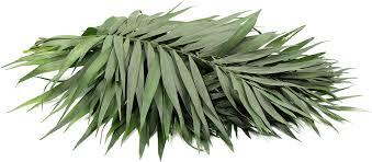 Fresh Palm Leaves