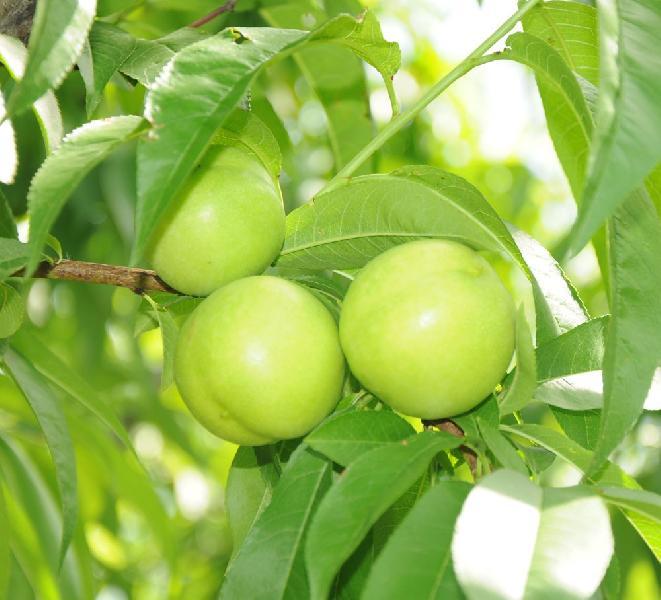 Fresh Green Nectarine